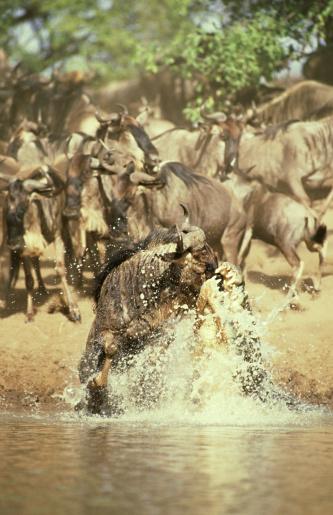 Battle「nile crocodile, crocodylus niloticus, attack on wildebeest, serengeti,tz」:スマホ壁紙(1)