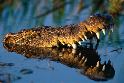 Warning Behavior「Nile Crocodile Swimming in Water」:スマホ壁紙(9)
