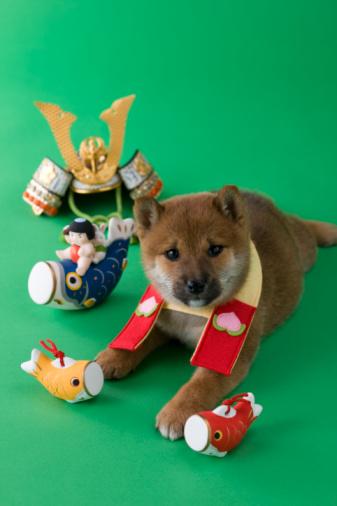 こどもの日「Shiba Puppy and Children's Day Celebration」:スマホ壁紙(17)