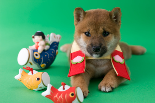 こどもの日「Shiba Puppy and Children's Day Celebration」:スマホ壁紙(18)