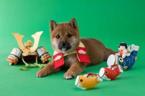 こどもの日「Shiba Puppy and Children's Day Celebration」:スマホ壁紙(5)