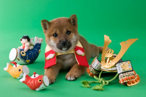 こどもの日「Shiba Puppy and Children's Day Celebration」:スマホ壁紙(12)