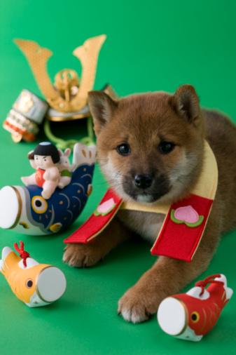 こどもの日「Shiba Puppy and Children's Day Celebration」:スマホ壁紙(15)