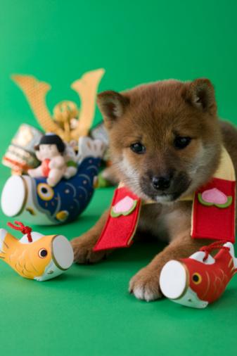 こどもの日「Shiba Puppy and Children's Day Celebration」:スマホ壁紙(11)