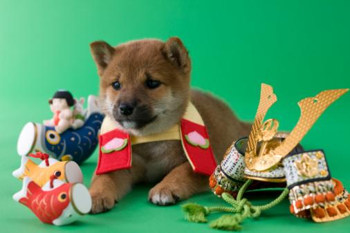 こどもの日「Shiba Puppy and Children's Day Celebration」:スマホ壁紙(10)