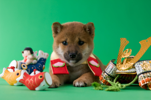 こどもの日「Shiba Puppy and Children's Day Celebration」:スマホ壁紙(19)