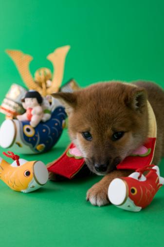 こどもの日「Shiba Puppy and Children's Day Celebration」:スマホ壁紙(16)