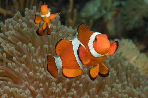 Pacific Ocean「Two clownfish over sea anemone」:スマホ壁紙(3)