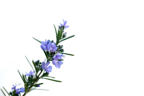 Rosemary「Rosemary」:スマホ壁紙(19)