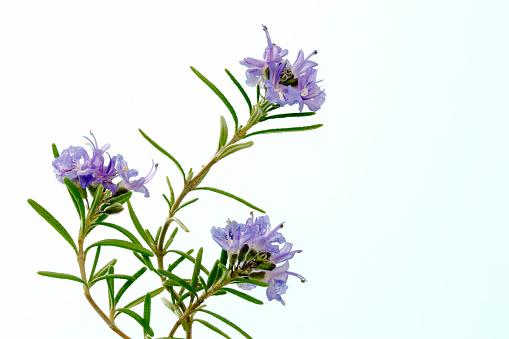 Rosemary「Rosemary」:スマホ壁紙(5)