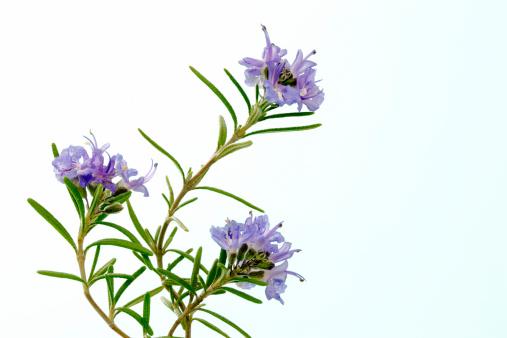 Rosemary「Rosemary」:スマホ壁紙(6)