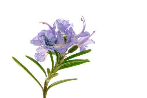 Rosemary「Rosemary」:スマホ壁紙(2)
