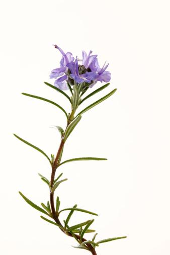 Rosemary「Rosemary」:スマホ壁紙(7)