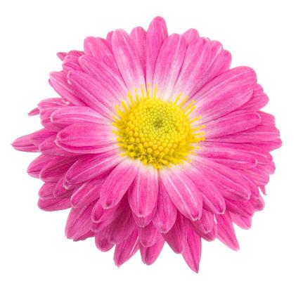 春「菊ます。」:スマホ壁紙(12)