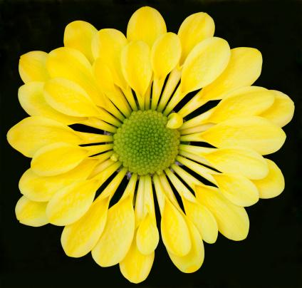 黄色「Chrysanthemum」:スマホ壁紙(19)