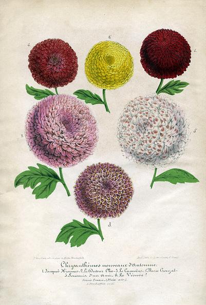 Chrysanthemum「Chrysanthemums」:写真・画像(0)[壁紙.com]