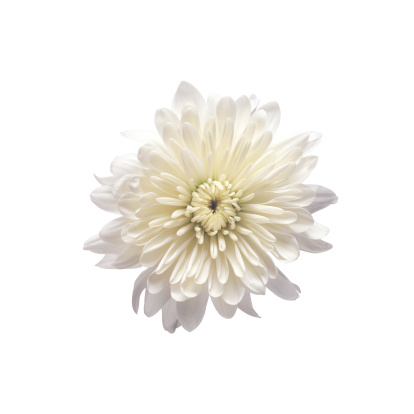 Chrysanthemum「Chrysanthemum」:スマホ壁紙(15)