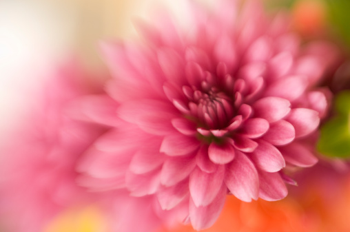一輪の花「菊咲きほこるソフトフォーカス抽象的な」:スマホ壁紙(2)