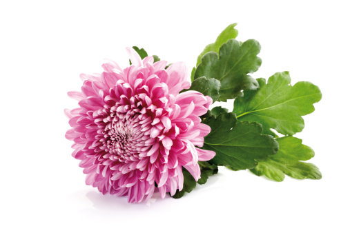 Chrysanthemum「Chrysanthemum (Chrysanthemum indicum), close-up」:スマホ壁紙(12)