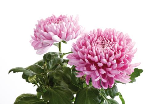 キク科「Chrysanthemum (Chrysanthemum indicum), close-up」:スマホ壁紙(13)