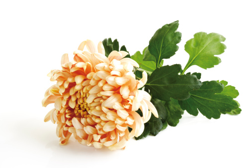 キク科「Chrysanthemum (Chrysanthemum indicum), close-up」:スマホ壁紙(3)