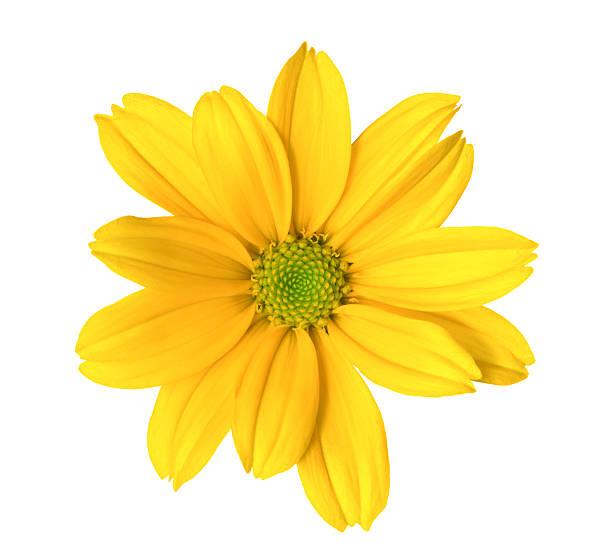 Chrysanthemum:スマホ壁紙(壁紙.com)
