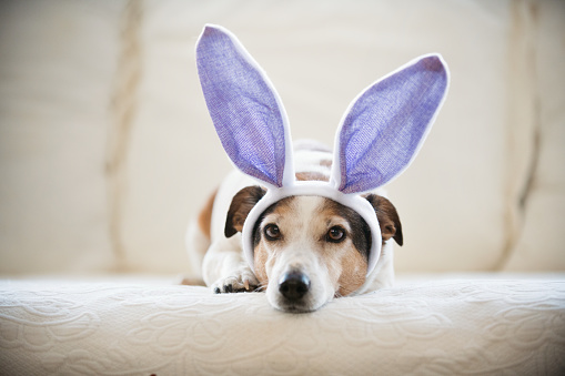 Easter Bunny「Cute Jack Russel dog wearing rabbit's ears during easter holidays」:スマホ壁紙(17)