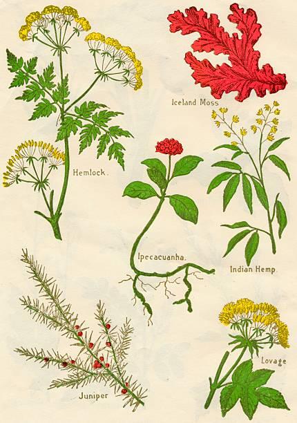 Flowers: Hemlock, Iceland Moss, Ipecacuanha, Indian Hemp, Juniper, Lovage, c1940:ニュース(壁紙.com)