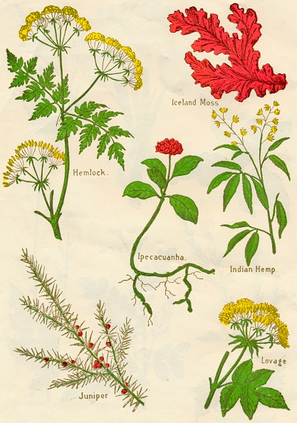 葉・植物「Flowers: Hemlock, Iceland Moss, Ipecacuanha, Indian Hemp, Juniper, Lovage, c1940」:写真・画像(7)[壁紙.com]