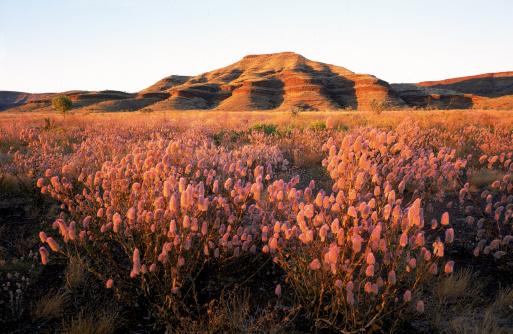 1990-1999「wildflowers near rock outcrop, karijini national park, western australia」:スマホ壁紙(10)