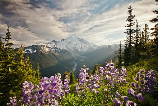 レーニア山国立公園「Wildflowers in Mount Ranier National Park」:スマホ壁紙(6)