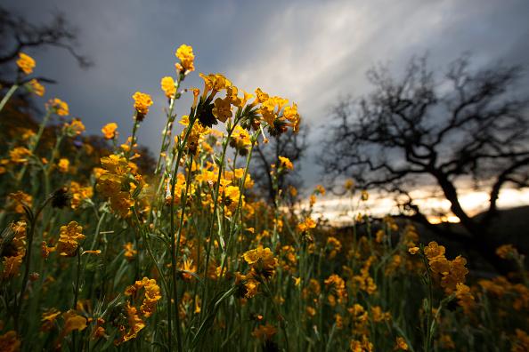 "Wildflower「Rare ""Super Bloom"" Of Wildflowers Occurs In California Desert After Heavy Rain Falls」:写真・画像(3)[壁紙.com]"