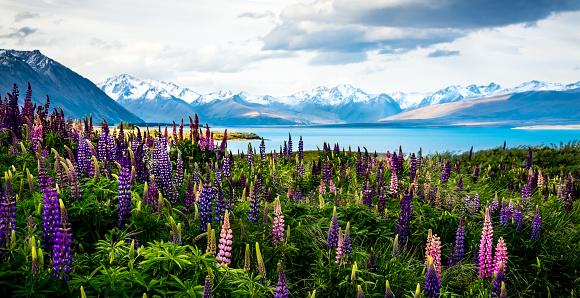 New Zealand「Wildflowers by Lake Tekapo, Canterbury, New Zealand」:スマホ壁紙(12)