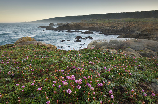 flower「Wildflowers, Sonoma Coast, Salt Point California」:スマホ壁紙(1)