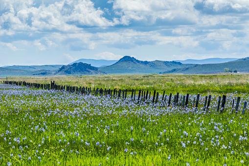 Wildflower「Wildflowers in field in Fairfield, Idaho, USA」:スマホ壁紙(3)