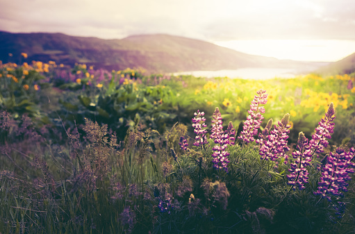 Columbia River Gorge「Wildflowers In Morning Sunrise」:スマホ壁紙(2)