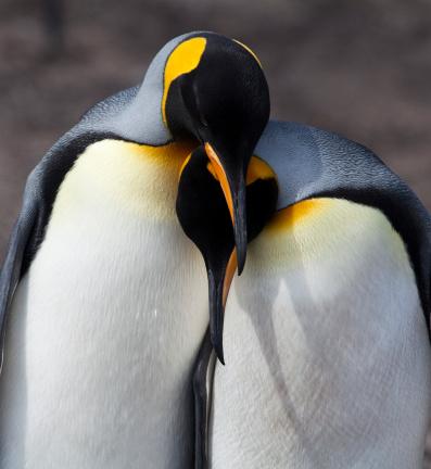 フォークランド諸島「ペンギン愛情」:スマホ壁紙(12)