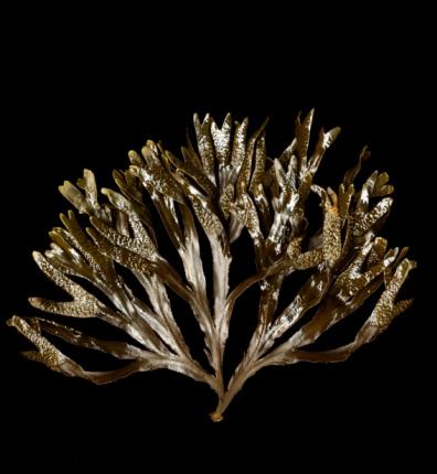 Algae「Seaweed (Stenogramme interrupta (C Agardh) Montagne ex Harvey), studio shot」:スマホ壁紙(8)
