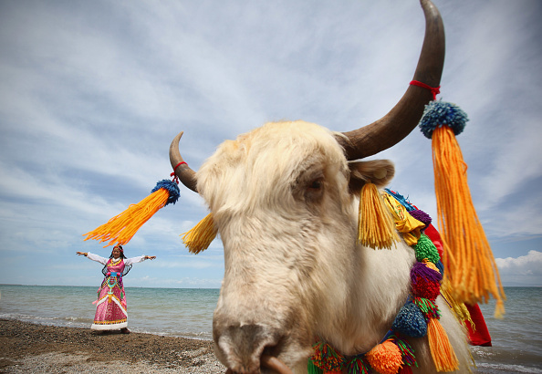 Wild Cattle「Qinghai Lake Scenery」:写真・画像(13)[壁紙.com]