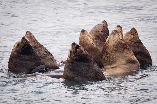 Sea Lion「Herd of Stellar Sea Lions in shallow water near Dayville Road, Valdez, Southcentral Alaska, United States of America」:スマホ壁紙(3)