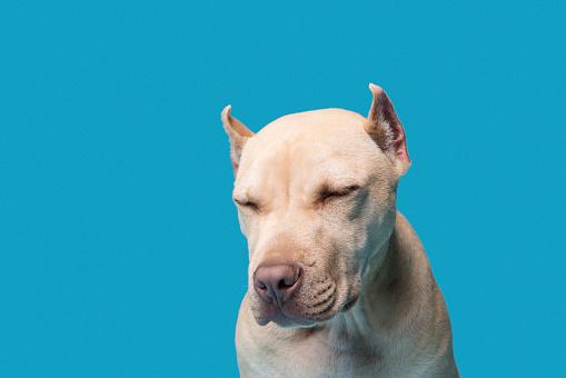 Dog「Pit Bull Terrier takes a morning nap」:スマホ壁紙(3)