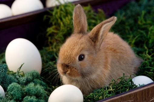 Easter Bunny「Rabbit sitting in nest」:スマホ壁紙(18)