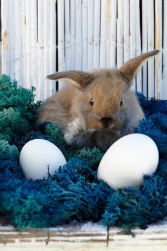 Easter Bunny「Rabbit sitting in nest」:スマホ壁紙(12)