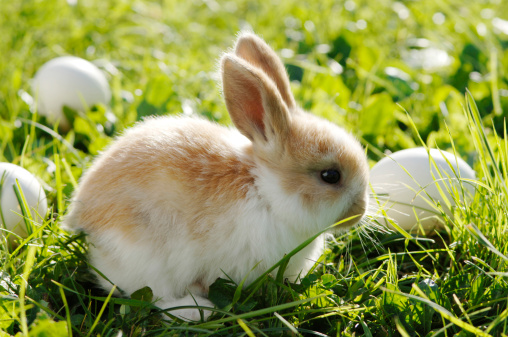 Easter Bunny「Rabbit sitting in meadow, close-up」:スマホ壁紙(14)