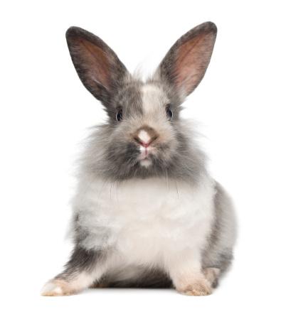 Belgium「Rabbit sitting」:スマホ壁紙(12)
