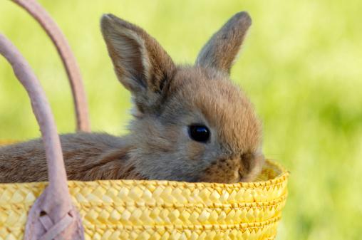 Easter Bunny「Rabbit sitting in basket, close-up」:スマホ壁紙(12)