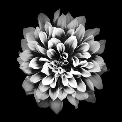 満開「黒の背景に分離された Mochrome ダリア」:スマホ壁紙(9)