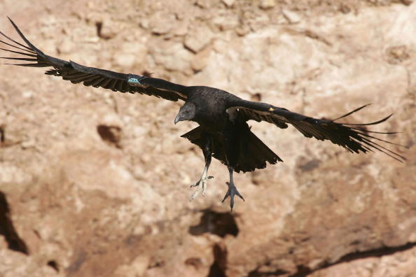 Endangered Species「Endangered Condors Threatened With Lead Poisoning」:写真・画像(18)[壁紙.com]