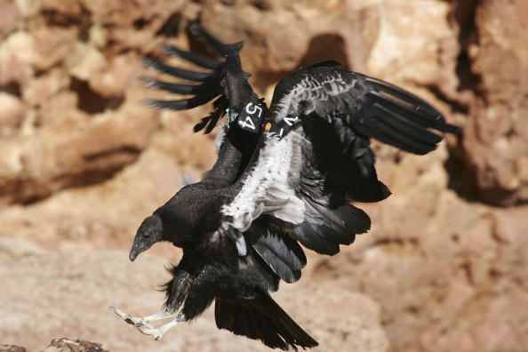 Endangered Species「Endangered Condors Threatened With Lead Poisoning」:写真・画像(3)[壁紙.com]
