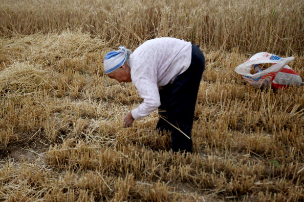 Cereal Plant「Anhui Province Begins Wheat Harvest」:写真・画像(2)[壁紙.com]